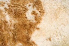 Cow Hide. Texture of a cow hide in white and tan Stock Photos