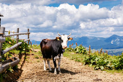 Cow on high mountain Carpathian meadow Royalty Free Stock Image
