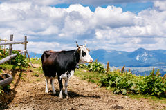 Cow on high mountain Carpatian meadow Stock Photography