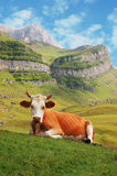 Cow in high mountains royalty free stock photo