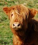 cow highland Στοκ Εικόνες