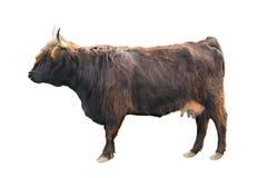 6/10/18-6/16/18 Cow-highland-isolated-white-background-98027368