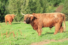 Cow of the Highlander Stock Image