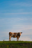 Cow on a hill. Brown and white cow on a green hill with blue skies Stock Image