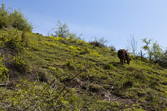 Cow on a hill Stock Photos