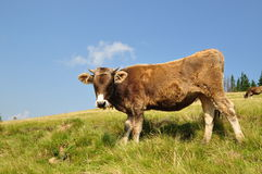 Cow on a hillside. Royalty Free Stock Photography