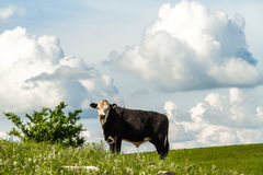 Cow on a hillside Royalty Free Stock Images