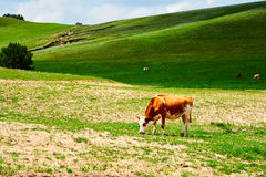 The cow on the hillside Royalty Free Stock Photography