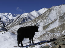 Cow and Himalayan mountains in Ladakh Stock Images