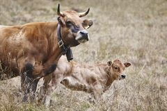 Cow with his calf in the countryside. Cattle, livestock. Mammal royalty free stock photography
