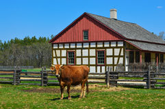 Cow Historical Schultz Farm House. A cow in front of the historical Schultz farm house at Old World Wisconsin in Eagle, WI royalty free stock images