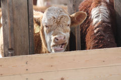 Cow in Holding Pen Royalty Free Stock Photos