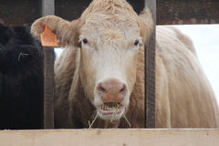 Cow in Holding Pen Stock Images