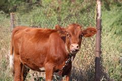 A young cow grazes. Cow home farm milk summer calf the cow is chewing gum royalty free stock photo