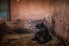 Cow. A home cow (ox) resting Stock Image