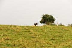 Cow horizon Stock Photography