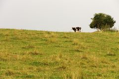 Cow horizon Stock Images