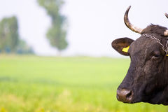 Cow with Horns Royalty Free Stock Images