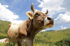 Swiss Brown Cow Mountains Stock Photos, Images, & Pictures ...