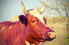 Cow with horns looks into the distance. Stock Photo