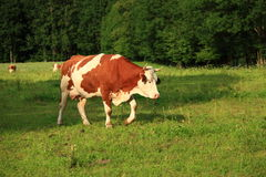 Cow with horns on meadow Stock Image