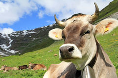The cow Royalty Free Stock Photos
