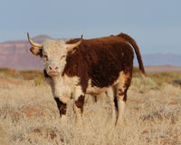 Cow with horns on open range Royalty Free Stock Photography