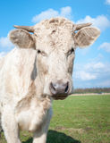 Cow with horns poses for the photographer Royalty Free Stock Image