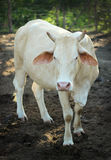 Cow with horns standing staring Stock Photography