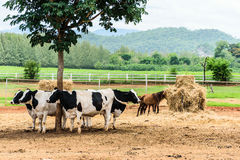 Cow & Horse Royalty Free Stock Photography