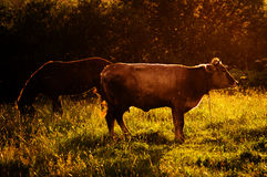 The cow and the horse in the pasture. Royalty Free Stock Image