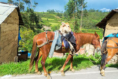 Cow on a Horse Royalty Free Stock Image