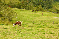 Cow and horses in the Cocora Valley with wax palm, between the m Stock Photos