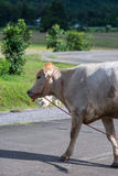 Cow husbandry in city Royalty Free Stock Image