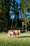 Cow on an idyllic Pasture Royalty Free Stock Photography