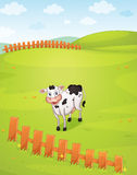 A cow Stock Photos