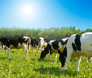 Free Cow In A Pasture Stock Photos - 8948383