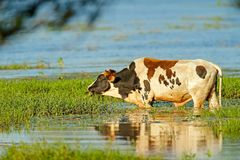 Free Cow In The River Water, Feeding Green Grass, Costa Rica. Agriculture In The Central America. Sunny Hot Day In The Wild Nature. Stock Images - 124395144