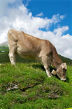 Cow on an incline. Cow grazing on a mountain in the Swiss alps Stock Photography