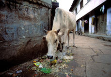 Cow in India. Sacred cowi n the streets of Benares Stock Images