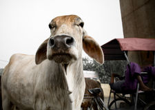 Cow in India Stock Photography