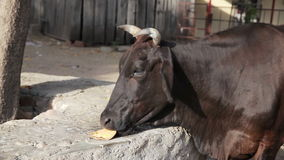 Cow in India stock video