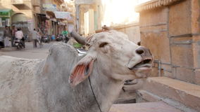 Cow in India stock video footage