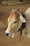 Cow in India, with colorful decorations tied around hits neck Stock Photos