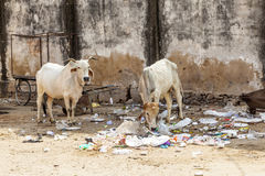 Cow in India feeding on garbage Stock Image