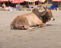 Cow India Goa Royalty Free Stock Images