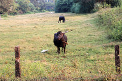 Cow in India. Indian cow in Goa, Morjim Royalty Free Stock Image
