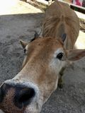 A cow very close to camera. stock photos