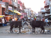 Cow in India Royalty Free Stock Image