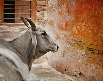 Cow in a indian city Royalty Free Stock Photography